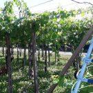 La benedetta uva di Umberto